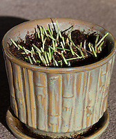 "Our pot of cat grass was stuffed full of 4""-high blades of tack oats (Avena sativa) when we gave it to our two cats.  Within 24 hours it looked like this: the grass had been mowed down to almost nothing.  Do we have cats or goats?"