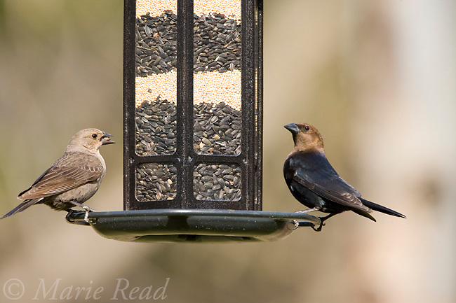 Brown-headed Cowbird (Molothrus ater) male (R) and female at bird feeder, New York, USA