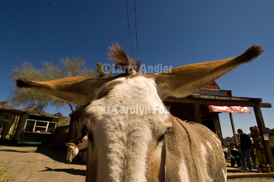 Jackass flattening his ears and ready for takeoff in Oatman, Ariz.