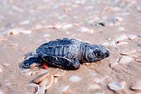 Kemp's ridley sea turtle hatchling, Lepidochelys kempii, crawls down beach towards ocean, Rancho Nuevo, Mexico, Gulf of Mexico, Caribbean Sea, Atlantic Ocean