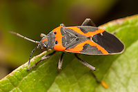 Small Milkweed Bug (Lygaeus kalmii), Bald Eagle State Park, Howard, Centre County, Pennsylvania
