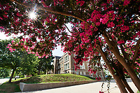 Crepe myrtles bloom on the Mississippi State campus as the Fourth of July holiday approaches. The university will be closed Wednesday [July 4] in observance of Independence Day and will re-open Thursday [July 5].<br />
