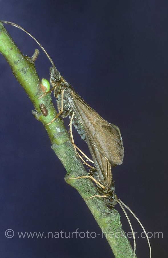 Köcherfliege, Paarung, Kopulation, Kopula, Sericostoma pedemontanum, pairing, sedge-fly, rail-fly, caddisflies, sedge-flies, rail-flies, Trichoptera