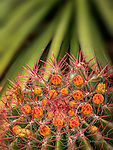Barrel Cactus and Yucca, near Superior, Arizona