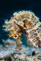 Spotted seahorse, Hippocampus kuda, profile, side view, TARP, Sabah, Malaysia, Borneo, Pacific Ocean
