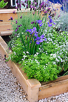Raised bed garden of herb spanish lavender Lavandula stoechas, English lavender L. angustifolium, blue flowered irises, Galium odoratum Sweet woodruff, in fresh late spring bloom