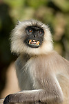 Grey, Common or Hanuman Langur, Semnopitheaus entellus, sitting, showing teeth, Bandhavgarh National Park, face portrait.India....