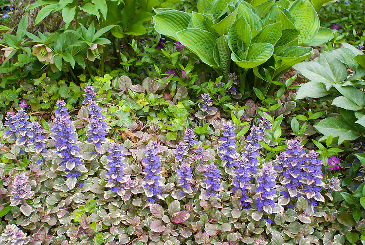 Ajuga reptans 'Burgundy Glow' shade groundcover Bugleweed in flower in spring, under hosta and helleborus hellebores, with Hedera ivy