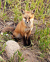 RED FOX PUP<br /> SILVERTHORNE, COLORADO