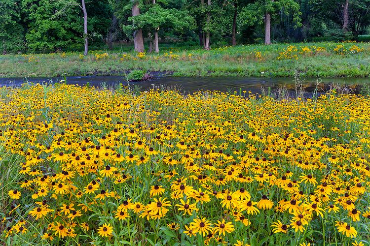 Brown-Eyed Susans (Rudbeckia hirta) in summe bloom along the DuPage River in The Morton Arboretum; Lisle, IL