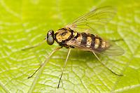 Ornate Snipe Fly (Chrysopilus ornatus) - Female, Ward Pound Ridge Reservation, Cross River, New York