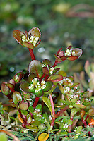 ICELAND PURSLANE Koenigia islandica. Height o 10cm. A low-growing annual with reddish stems and rounded, opposite and reddish leaves. Flowers are tiny and whitish. A rare plant of bare, damp ground in the mountains of Mull and Skye.