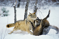 Gray wolf or timber wolf (Canis lupus) dominance behavior