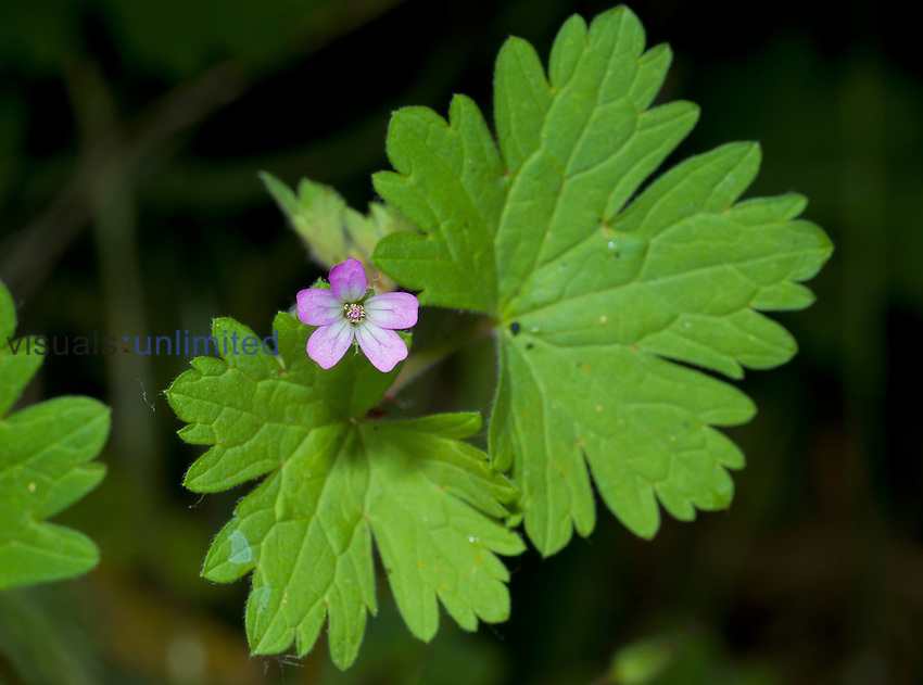 Cinquefoil Geranium (Geranium potentilloides), an introduced species. Garland Ranch Park, California, USA.