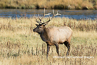 01980-03016 Elk (Cervus elaphaus) bull male, Yellowstone National Park, WY