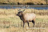 01980-03016 Elk (Cervus elaphaus) bull male, Yellowstone National Park, WY