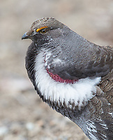 """When the Dusky Grouse performs his territorial """"drumming,"""" his reddish breasts are exposed."""