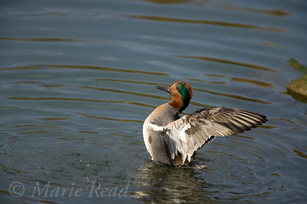 Green-winged Teal (Anas crecca) male in breeding plumage, flapping its wings, Upper Newport Bay, California, USA