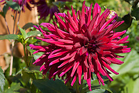 Dahlia Nuit d'Ete, one of darkest dahlias, cactus type, red