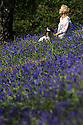 03/05/14<br /> <br /> Anna Powles enjoys the Bank Holiday 'blues' as she walks her springer spaniel, Monty through bluebells which are carpeting acres of fields and woodland at Bow Wood near Lea Bridge in Derbyshire.<br /> <br /> All Rights Reserved - F Stop Press.  www.fstoppress.com. Tel: +44 (0)1335 300098