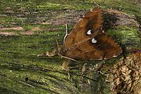 Schlehenspinner, Männchen, Schlehen-Spinner, Kleiner Bürstenspinner, Schlehen-Bürstenspinner, Orgyia antiqua, Orgyia recens, vapourer moth, common vapourer, rusty tussock moth, male