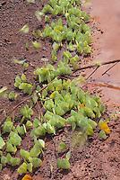 Pierid butterflies; mudpuddling during migration; Guyana; Iwokrama