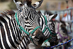 Zebras wait for the action to start at the 54th International Camel Races in Virginia City, Nev., on Friday, Sept. 6, 2013.  <br /> Photo by Cathleen Allison