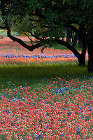 Indian Paintbrush and Bluebonnets around Texas Live Oak Trees