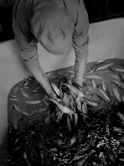 The Pilchard Works. <br /> Salting the sardines.<br /> <br /> Salted pilchards have been exported from Cornwall to the continent since the 16th century and the 'Pilchard Works' in Newlyn has been selling this traditional product to the same Italian family since 1905. <br /> <br /> Since becoming a 'working museum' in 1995 it has won two national awards but on 28/10/05 it closed down due to a decline in the demand for this kind of presentation. <br /> <br /> The custom of pressing salted, whole-ungutted fish, with heads still attached into wooden containers has now been superseded by more modern packaging and freezing techniques. <br /> <br /> As the 'Pilchard Works' was the last establishment in the U.K. to employ these methods, what was once the mainstay of the Cornish fishing industry has now gone forever.