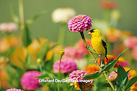 01640-11820 American Goldfinch (Carduelis tristis) male on Zinnias in garden Marion Co. IL