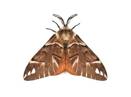 Kentish Glory - Endromis versicolora -male