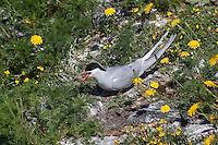 Küsten-Seeschwalbe, Küstenseeschwalbe, am Brutplatz, Seeschwalbe, Sterna paradisaea, Arctic tern