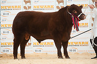 English Premier Show & Sale March 2019 <br /> Newark Livestock Market. Lincoln Red Show & Sale<br /> Lot 86 Junior Champion Sharlock Xtreme owned by Mr & Mrs P Sellers failed to sell at 3800gns<br /> ©Tim Scrivener Photographer 07850 303986<br />      ....Covering Agriculture In The UK....
