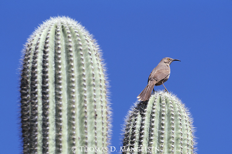 Curve-billed Thrasher perched on a saguaro cactus in Organ Pipe Cactus National Monument.