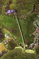 Gewöhnliches Fettkraut, Blaues Fettkraut, fleischfressende Pflanze, Pinguicula vulgaris, Bog Violet, Common Butterwort