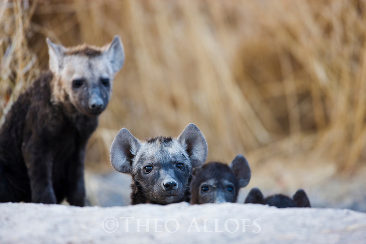 Spotted hyena (Crocuta crocuta) pups looking out of den entrance, Moremi Game Reserve, Okavango Delta