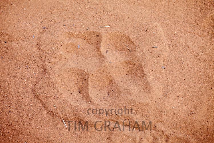 Pug mark pawprint of Bengal tiger, Panthera tigris tigris, in Ranthambore National Park, Rajasthan, India