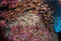 tasselled wobbegong shark, Eucrossorhinus dasypogon, Lady Elliot Island, Great Barrier Reef, Queensland, Australia, Coral Sea, South Pacific Ocean