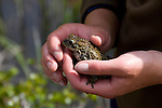 boreal toad, Bufo boreas boreas, research project, USGS in cooperation with National Park Service, Spruce Lake, Rocky Mountain National Park, Colorado, USA