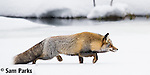 Red fox (cross) hunting in winter. Grand Teton National Park, Wyoming.