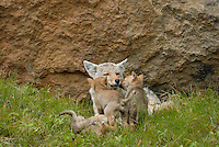 Wild Coyotes (Canis latrans)--mother with young pups.  Western U.S., June.
