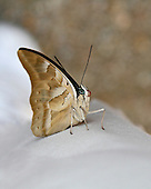 A one-spotted prepona sitting with wings close on white looking straight ahead. Right bluish eye and red probiscus clearly visible. A neotropical butterfly having a tan ventral appearance in total contrast to its black and blue top wings.