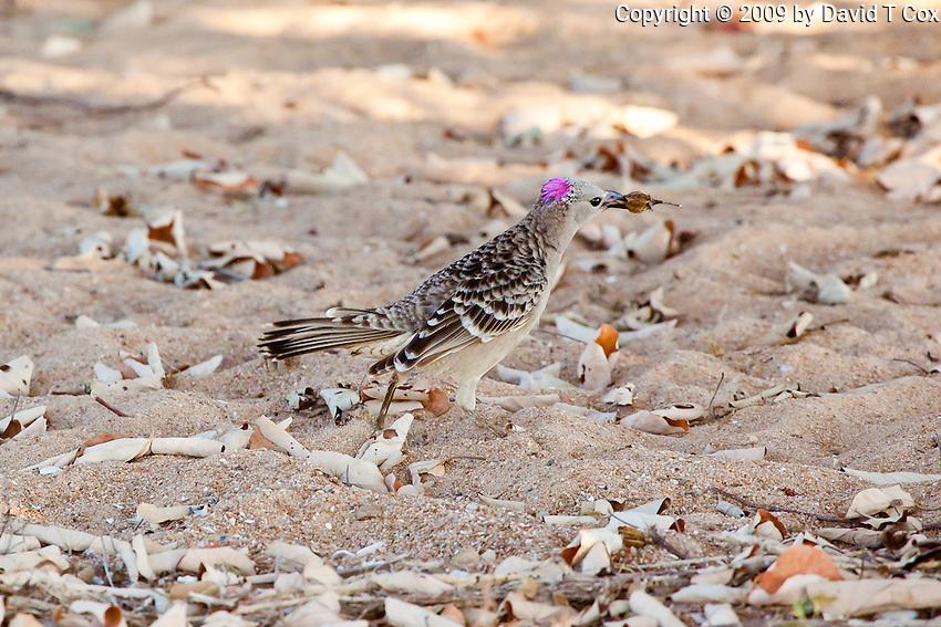 Great Bowerbird, Townsville, Queensland, Australia