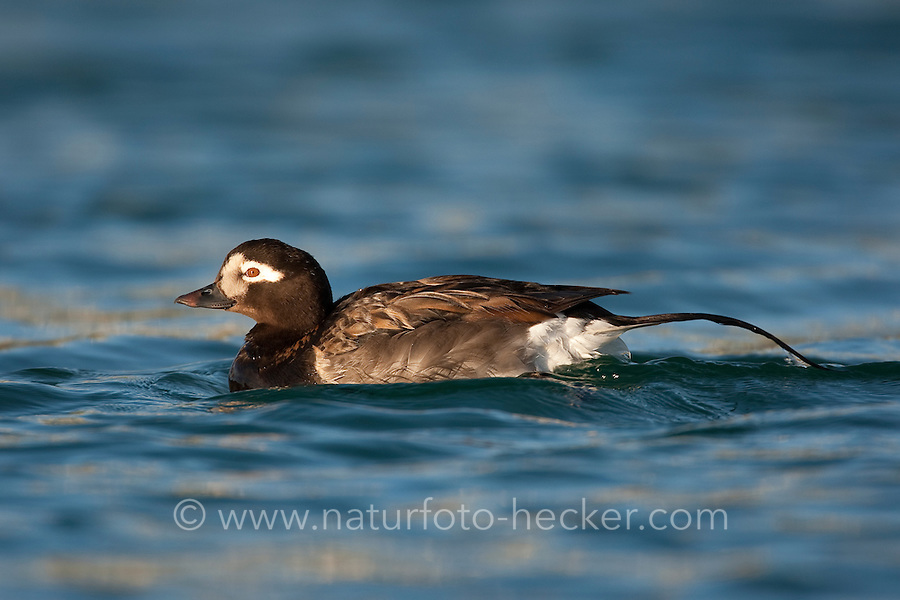 Eisente, Eis-Ente, Männchen, Erpel, Clangula hyemalis, long-tailed duck, Meeresente, Meerente