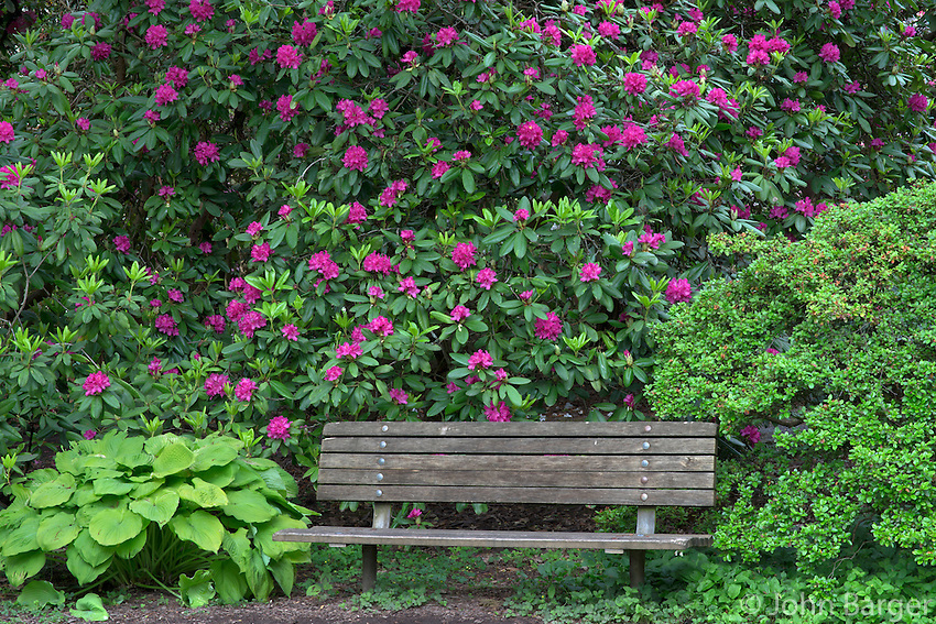 ORPTC_D171 - USA, Oregon, Portland, Crystal Springs Rhododendron Garden, Purple blossoms of rhododendrons in bloom and park bench.