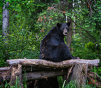 "Apparently foraging can be hard work.  This large adult Black Bear (Ursus americanus) needed a break, so it plopped down on a log ""seat."""