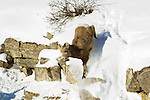 A big horn sheep lamb jumps from a steep rock face in Jasper National Park, Alberta Canada, on Jan 30, 2011.  Photo by Gus Curtis