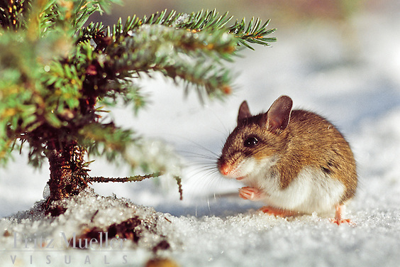 Deer mouse in winter
