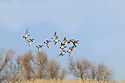 00318-007.07 American Wigeon flock in flight over trees.  Hunt, waterfowl, baldpate, fly, action, waterfowl.