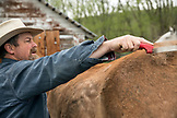 USA, Oregon, Enterprise, Cowboy and Rancher Todd Nash brushes and puts the pack saddle on his mule at the Snyder Ranch for a cattle drive in Northeast Oregon
